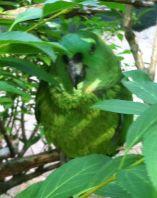 RenFaire Parrots 1