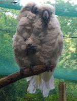 RenFaire Parrots 2