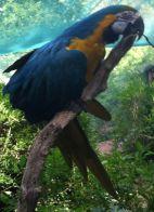 Renfaire Parrots 3
